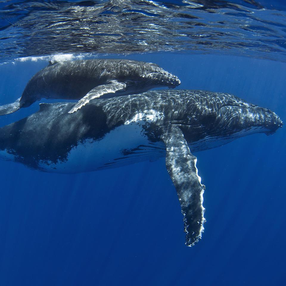 whitsundays tours humpback whale