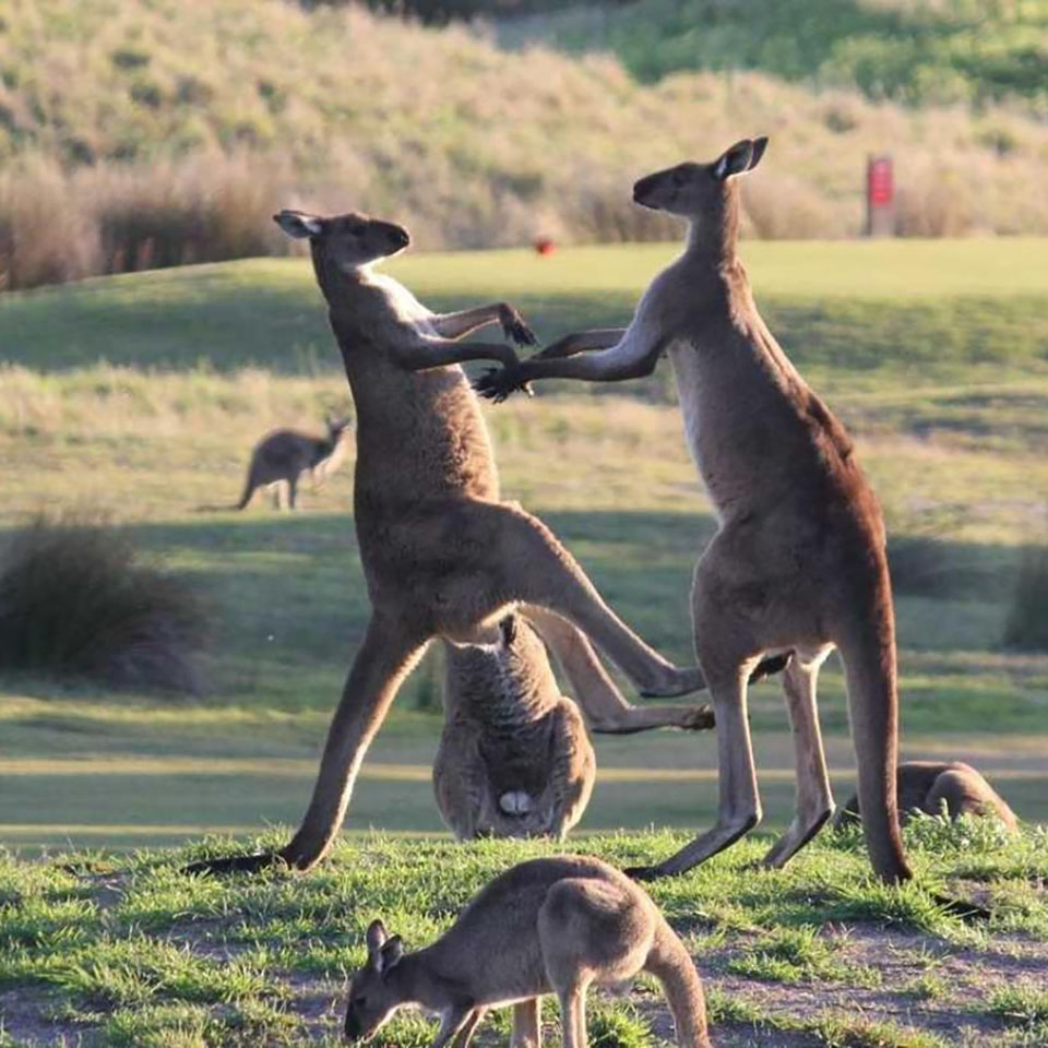 australian yarra valley winery tours kangaroos
