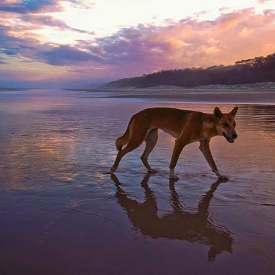 sunset dingoes fraser island