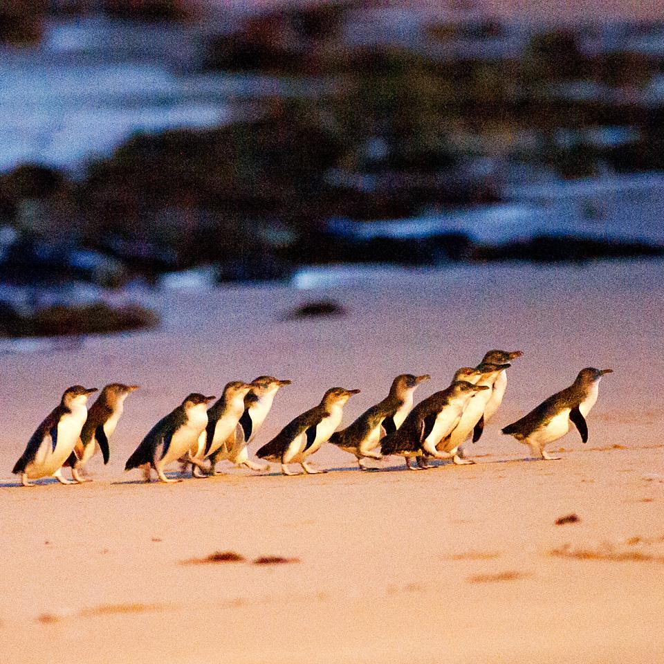 Phillip Island Australia: Phillip Island Penguin Parade Day Tour