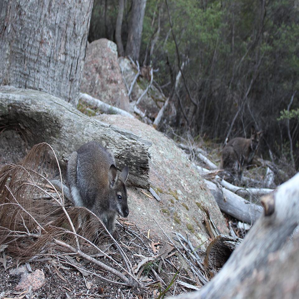 One stop adventures kangaroo tasmania