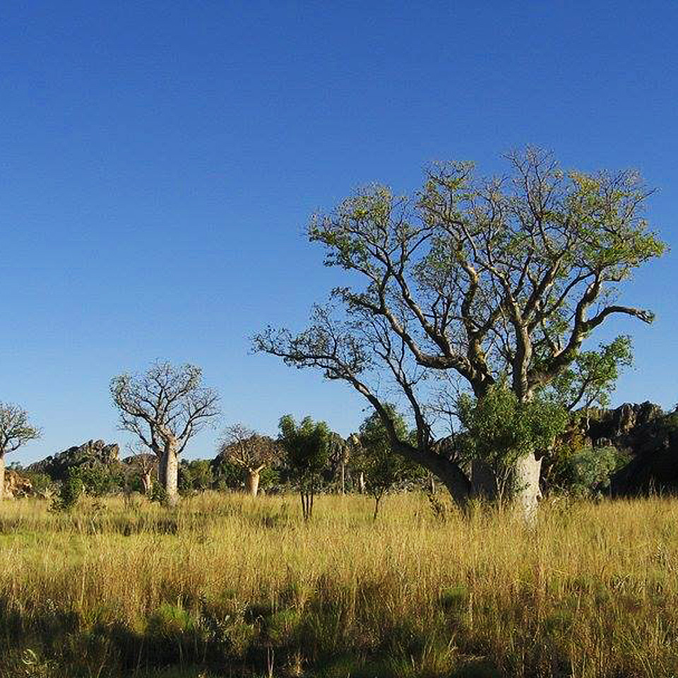 Wildlife and Boab Trees