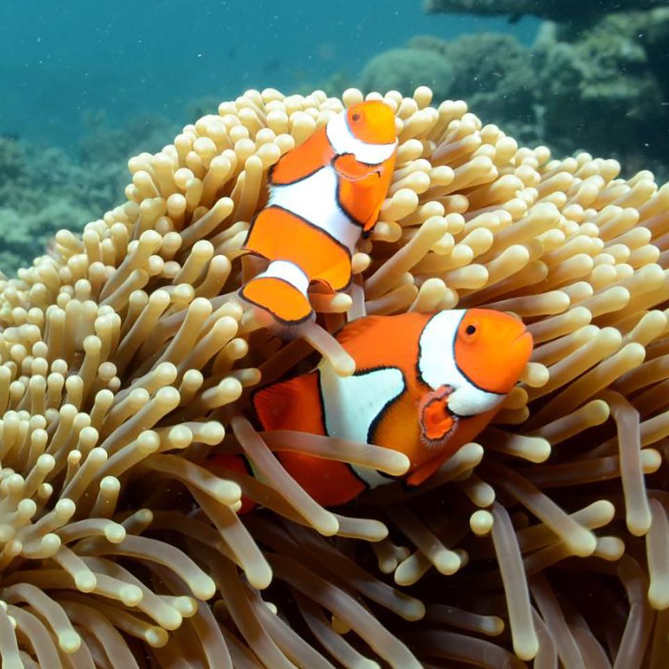 whitsundays australia tour clown fish