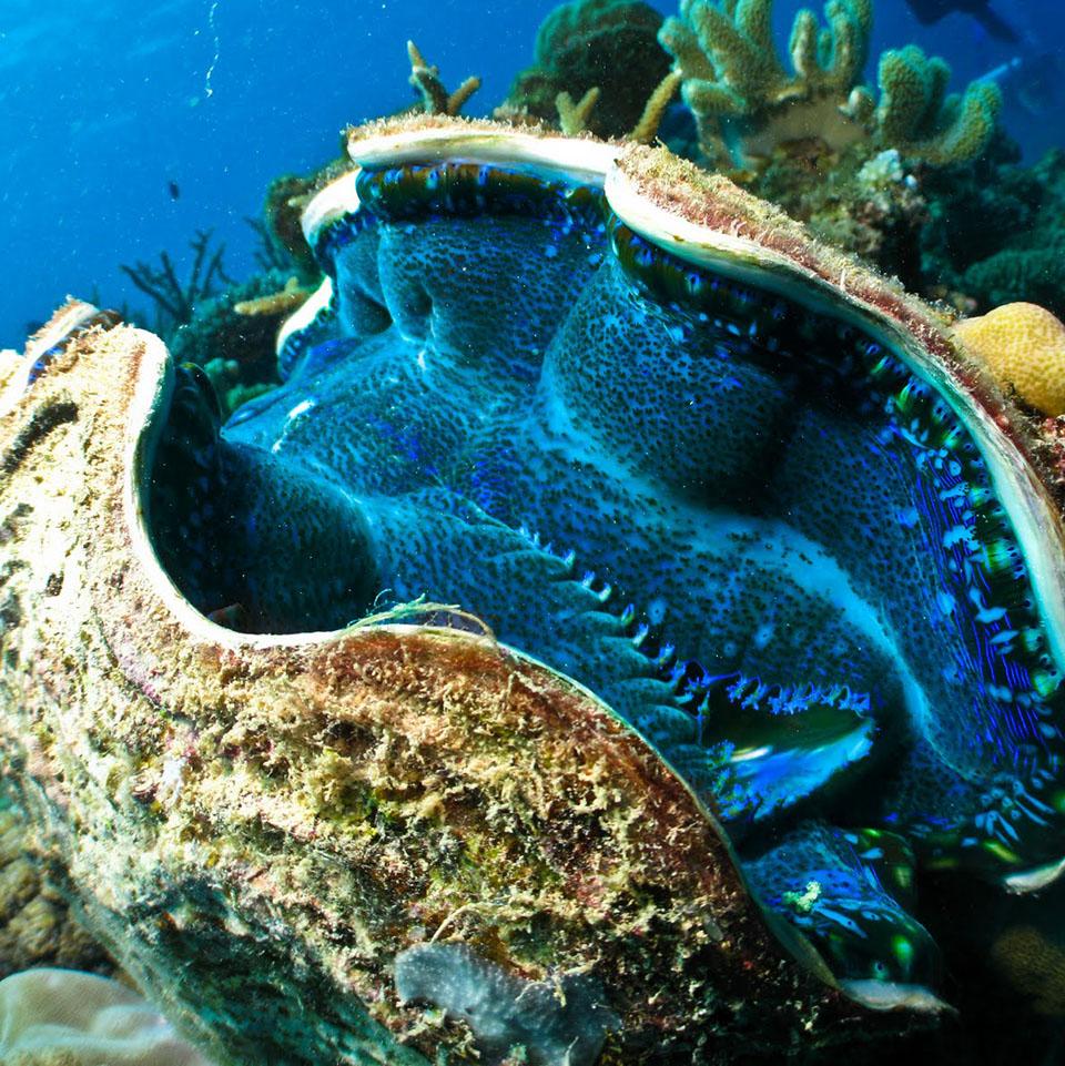 whitsundays east coast tours giant clam