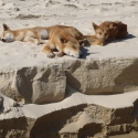 Fraser Island Dingoes on the Beach
