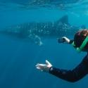 Exmouth Whale Shark