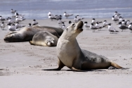 Seals on Kangaroo Island - One Day Tour