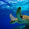Great Barrier Reef Swimming with the turtles