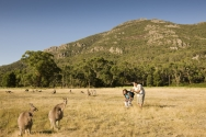 Kangaroos in the Grampians