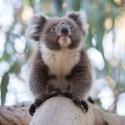 Koala Mikkira