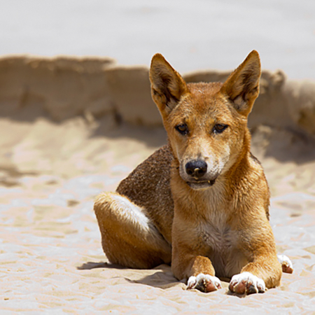 fraser island tour dingoes