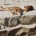Fraser Island Dingoes on the Beach