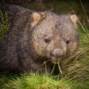 Wombat Wilsons Prom