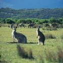 Wilsons Prom Kangaroos