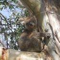 Koala Viewing Great Ocean Road