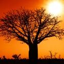 Western Australia Boab Tree
