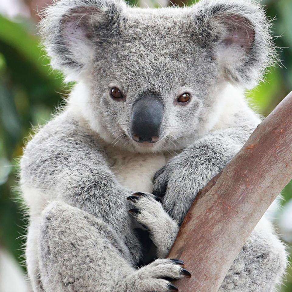 australian animals tours koala