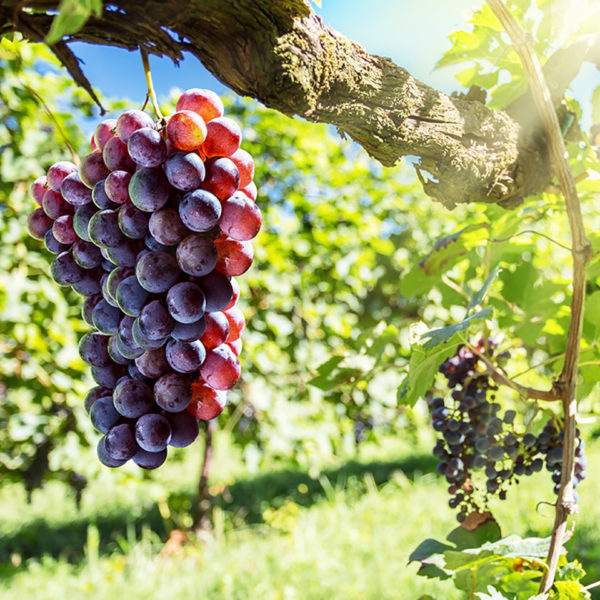 australian winery tours red wine grapes