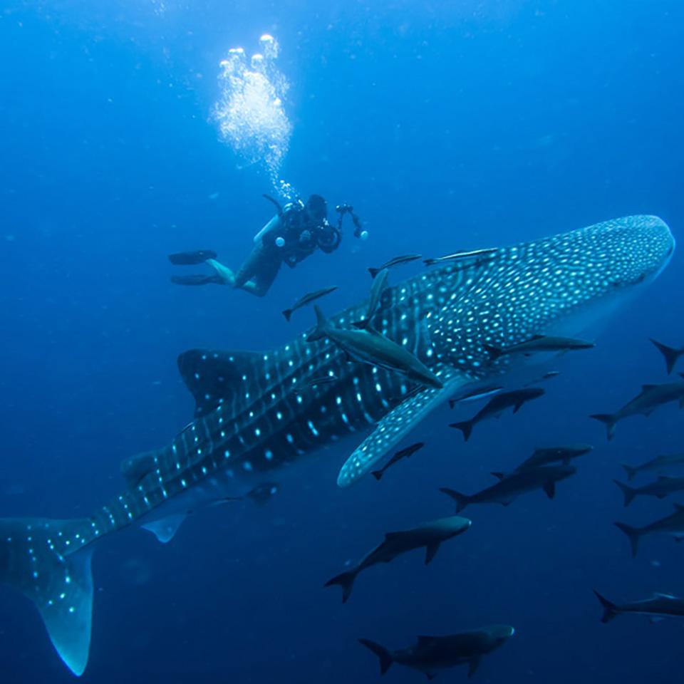 whitsundays tour whale shark